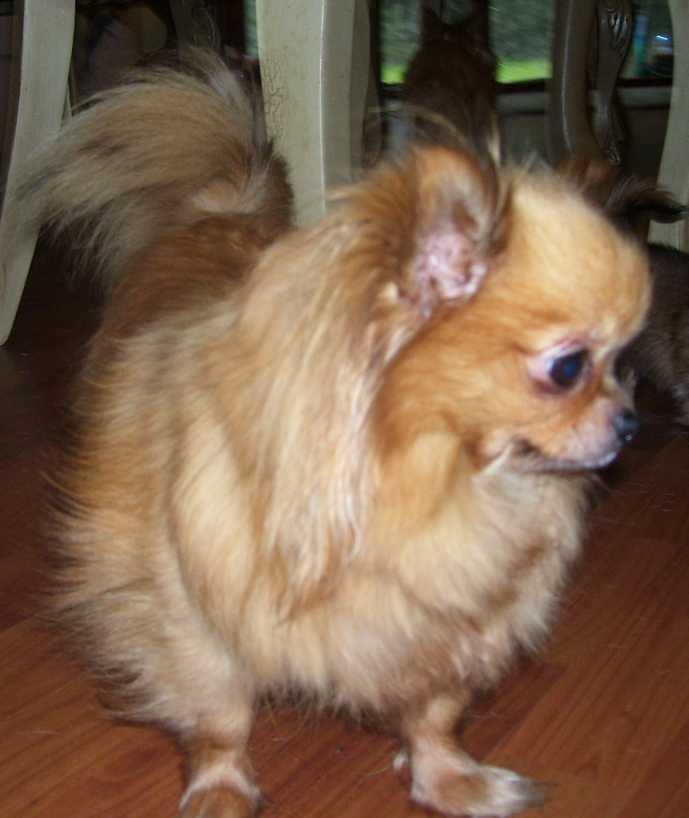 long haired chihuahua. long haired chihuahua photos.
